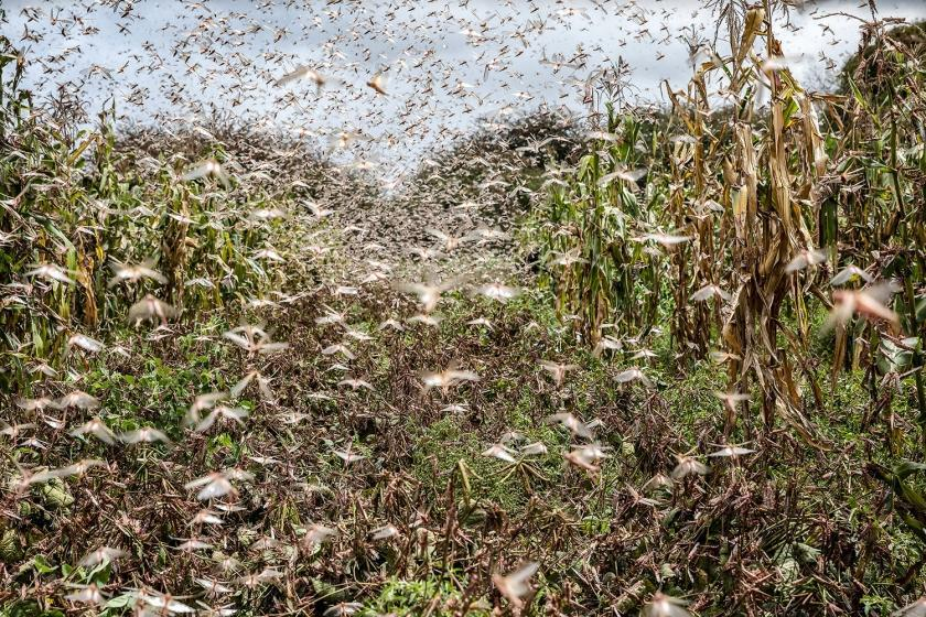 Locust swarms and climate change